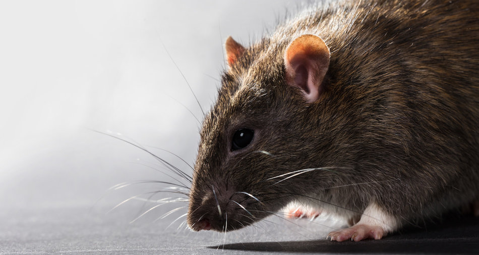 Keeping Mice and Rats Out of the House